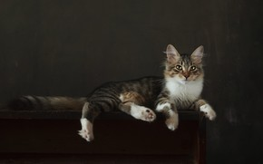 Picture cat, look, pose, the dark background, kitty, grey, paws, muzzle, lies, striped, Studio