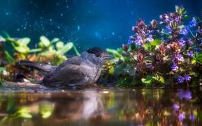 Picture water, flowers, squirt, nature, bird, vegetation, bathing, Tamas Hauk, blackcap