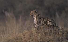 Picture nature, leopard, dry grass, DUELL ©