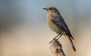 Picture bird, snag, bird, black Redstart