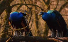 Picture birds, branches, nature, tree, pair, peacock, two, blue, peacocks