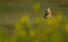 Picture field, background, gopher, stand, bokeh