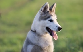 Picture language, look, background, each, puppy, husky