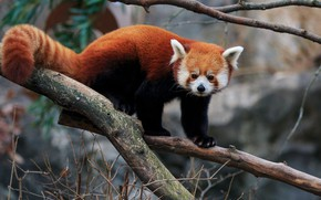 Picture look, branches, nature, pose, background, tree, tail, red Panda, face, red Panda, handsome
