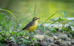 Picture stones, bird, bird, yellow Wagtail