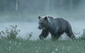Picture grass, fog, shore, bear, bear, walk, pond, young