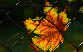 Picture autumn, leaves, light, the dark background, mesh, the fence, leaf, web, maple, autumn leaves, autumn …