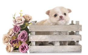 Picture flowers, bouquet, baby, puppy, Chihuahua