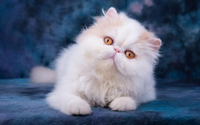 Picture white, eyes, look, pose, kitty, portrait, fluffy, baby, pers, muzzle, lies, kitty, blue background, yellow …