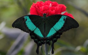 Picture flower, macro, butterfly, wings, insect, swallowtail