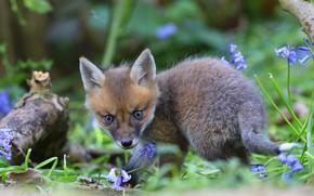 Picture greens, summer, look, flowers, foliage, Fox, log, bells, Fox, Fox, baby