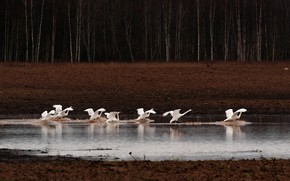 Picture autumn, forest, water, birds, nature, lake, the dark background, shore, Swan, river, white, swans, the …