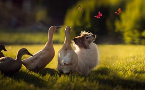 Picture summer, grass, rays, light, butterfly, birds, insects, nature, glade, cute, duck, dog, garden, yard, puppy, …
