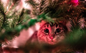 Picture cat, cat, look, face, light, branches, portrait, Christmas, New year, tree, needles, bokeh