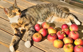 Picture cat, the sun, table, apples, lies, fruit, resting