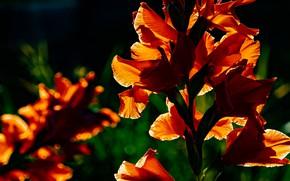 Picture light, flowers, the dark background, garden, red, gladiolus