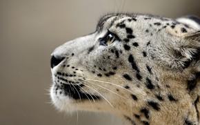 Picture look, face, close-up, background, portrait, profile, IRBIS, snow leopard, bars