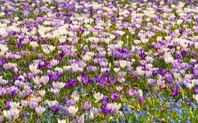 Picture spring, a lot, Crocuses, saffron