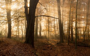 Picture autumn, forest, the sun, rays, trees, branches, fog, foliage
