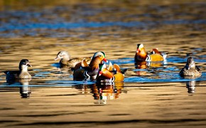 Picture a lot, reflection, swimming, duck, duck, swim, bright plumage, company, pond, water, pack, Mandarin, tangerine