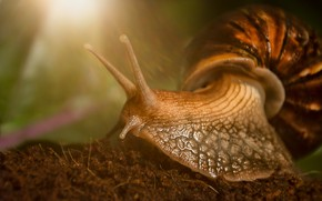 Picture macro, snail, horns, Achatina giant