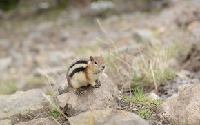Picture look, Chipmunk, rodent