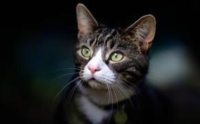 Picture cat, look, portrait, muzzle, the dark background, cat