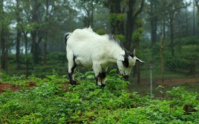 Picture forest, nature, goat, goat