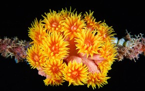 Picture sea anemones, marine fauna, sea flowers
