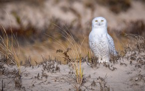 Picture sand, grass, look, owl, bird, shore, white, yellow eyes, snowy owl