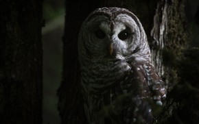 Picture forest, eyes, look, trees, darkness, the dark background, owl, bird, grey, twilight, owl, motley