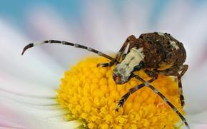 Picture flower, mustache, macro, background, beetle, Daisy, large, baleen, barbel, nasekomoe