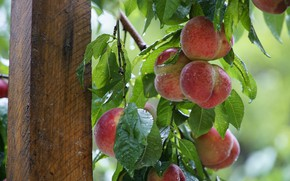 Picture leaves, drops, branches, tree, post, fruit, support, peaches, hang