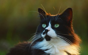Picture cat, cat, look, face, light, nature, black and white, portrait, fluffy, green background, green eyes, …