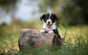 Picture grass, pose, black and white, dog, puppy, log, the border collie