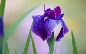 Picture flower, purple, leaves, lilac, one, light background, iris