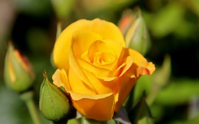 Picture blur, yellow rose, rosebuds