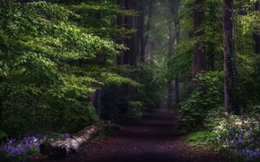 Picture road, forest, trees, flowers, nature, England, trail, Spring, UK, haze, bells, Hampshire County, Hyacinthoides, Micheldever, …