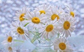 Picture drops, chamomile, petals