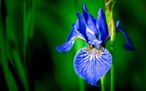 Picture macro, petals, stem, bokeh, Iris, Iris