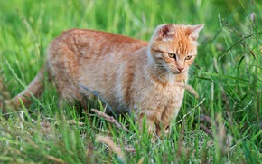 Picture greens, cat, summer, grass, look, kitty, red, walk, kitty, face