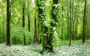 Picture forest, snow, spring