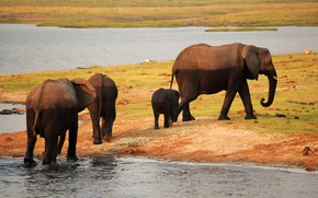 Picture shore, elephant, heat, Africa, elephants, pond, family, the elephant, elephant, thick-skinned, go with watering hole