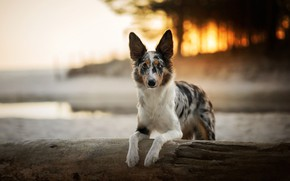Picture forest, look, face, light, nature, background, shore, portrait, dog, the evening, paws, log, pond, the …