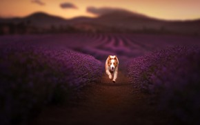 Picture dog, running, lavender