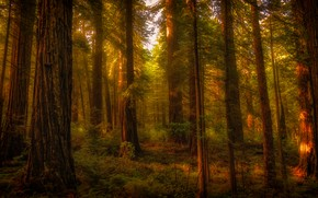Picture forest, rays, light, trees, branches, thickets, trunks, vegetation, crown, Sequoia, coniferous