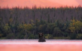 Picture forest, sunset, shore, bear, bathing, bear, pond