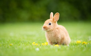 Picture grass, glade, yellow, rabbit, baby, red, flowers, Bunny, rabbit, hare