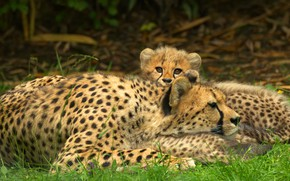 Picture look, stay, baby, pair, Cheetah, face, mom, two, lie, cheetahs