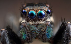 Picture eyes, look, macro, close-up, nature, background, spiders, portrait, legs, spider, blur, wool, hairy, face, blurred …